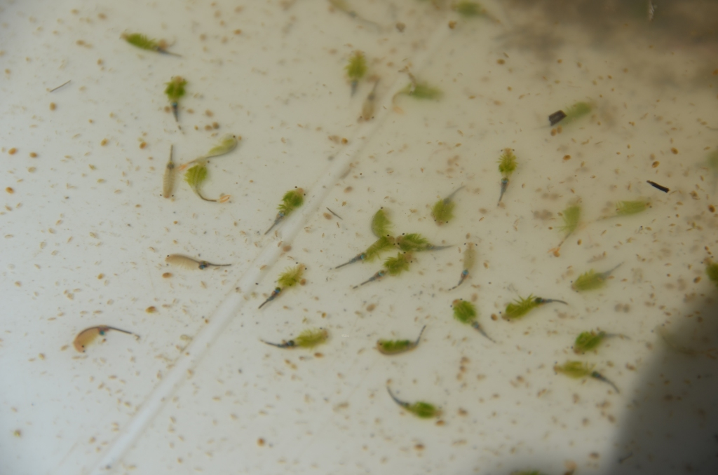 Low predation pressure in combination with plenty of nutrients ensure that fairy shrimp can reach high population densities in temporary pools