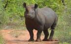 Black rhino interfering with pond sampling in Zimbabwe