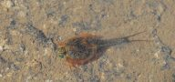 Triops australiensis in Austrlian rock pool